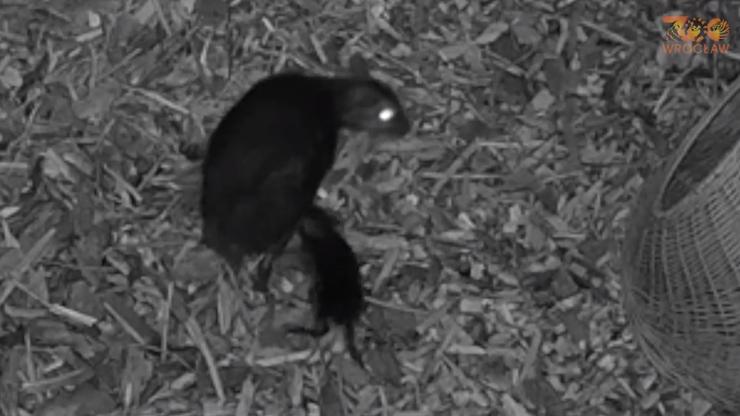 Wrocław. W zoo urodził się myszojeleń